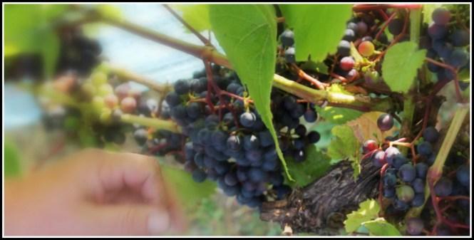 Farveskift af Rondo druer
