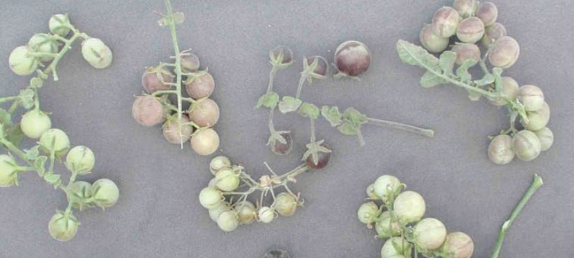 On the Tomato Trail: In Search of Ancestral Roots   Barry Estabrook