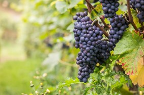 grapes-on-vine