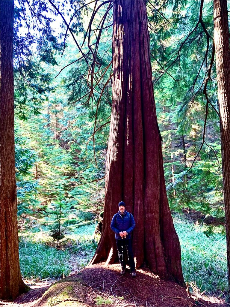 One of the enormous Western Red Cedar in Moran State Park