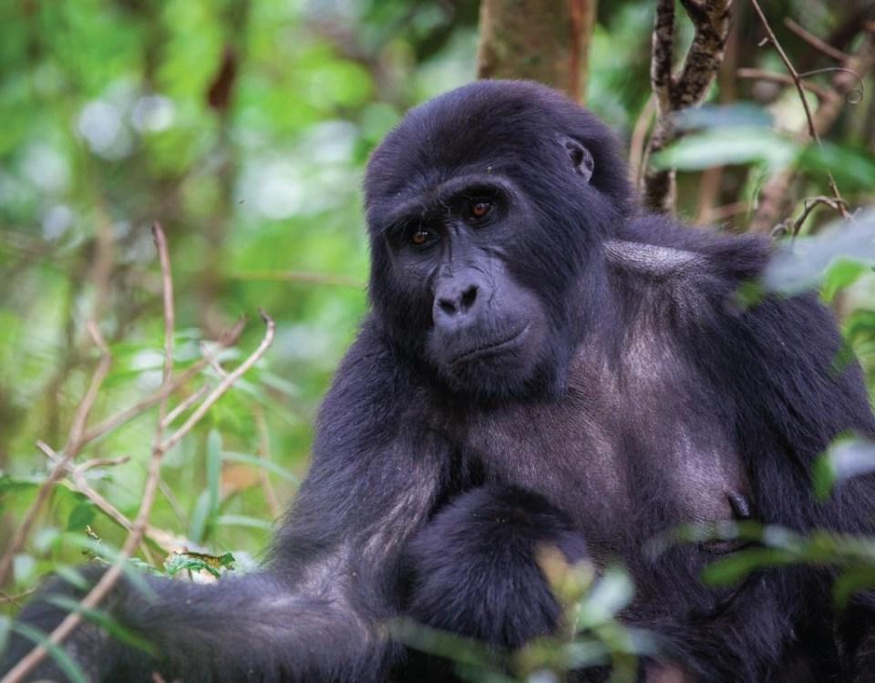 Gorilla Trekking tour
