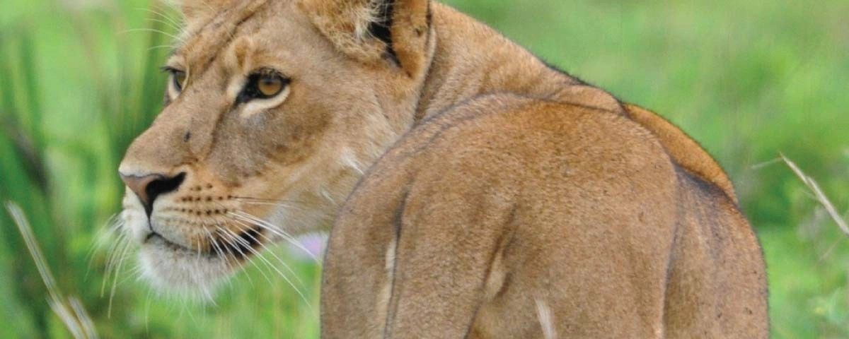 Murchison Falls National Park Lions