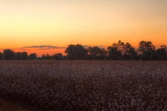 Cotton field sunrise