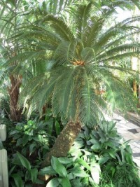 Figure-98.1-Sago-Palm-Cycas-spp.-300x400