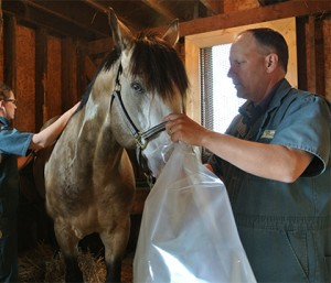 "To examine RAO, clinicians use a technique called ""rebreathing"" where they place a plastic bag over the horse's muzzle."