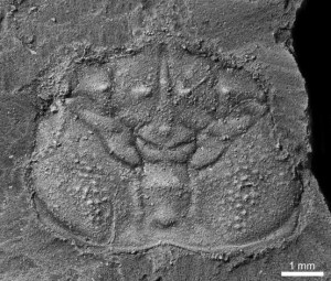 Telamonocarcinus antiquus: a new species of what might be the oldest 'higher' crab yet discovered (Cretaceous, ~110 Ma).