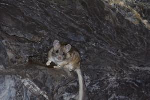 Bushy tailed wood rat or pack rat