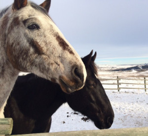 Horses stay at Glenbow Ranch Provincial Park all year round.