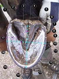 Barefoot hoof, from below. Details: heel perioplium (1), bulb (2), frog (3), central groove (4), collateral groove (5), heel (6), bar (7), seat of corn (8), pigmented walls (external layer) (9), water line (inner layer) (10), white line (11), apex of frog (12), sole (13), toe (14), how to measure width (15), quarter (16), how to measure length (17)