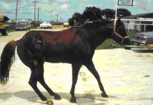 Typical stance of a horse with founder or laminitis. Horses will not want to move and may be 'rocked back' on their hind feet.