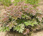 plantpeony2