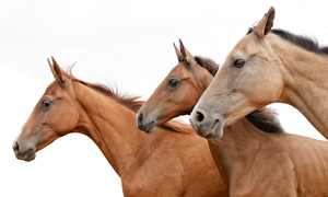 3horses-isolated-300