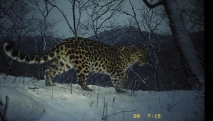Reconnected habitats have helped Asia's endangered Amur leopard double total its population since 2007. (Photo: WWF-Russia/ISUNR)