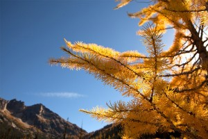 Rowe Lakes Larch
