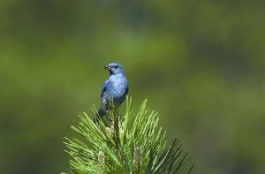 a-close-up-view-of-a-mountain-bluebird-bird-eating-sialia-currucoides