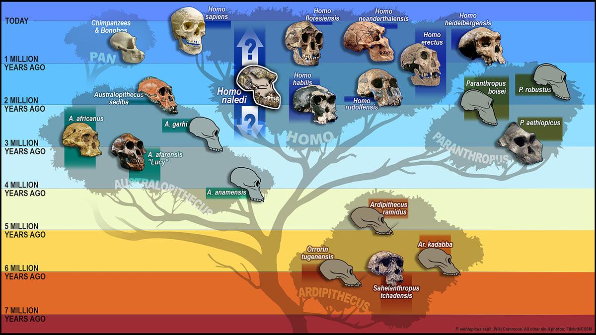 hominid_tree_skulls2560-c