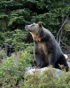 grizzlysitgordoncourt