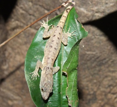 A gecko in the gonatodes humeralis species uses its unique foot structure to cling to the slippery surface of a leaf. Images courtesy of Tony Russell