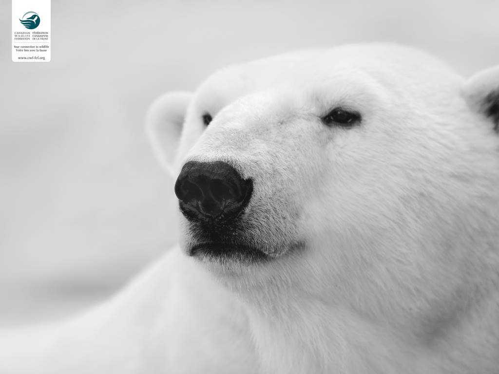 CWF Polar Bear
