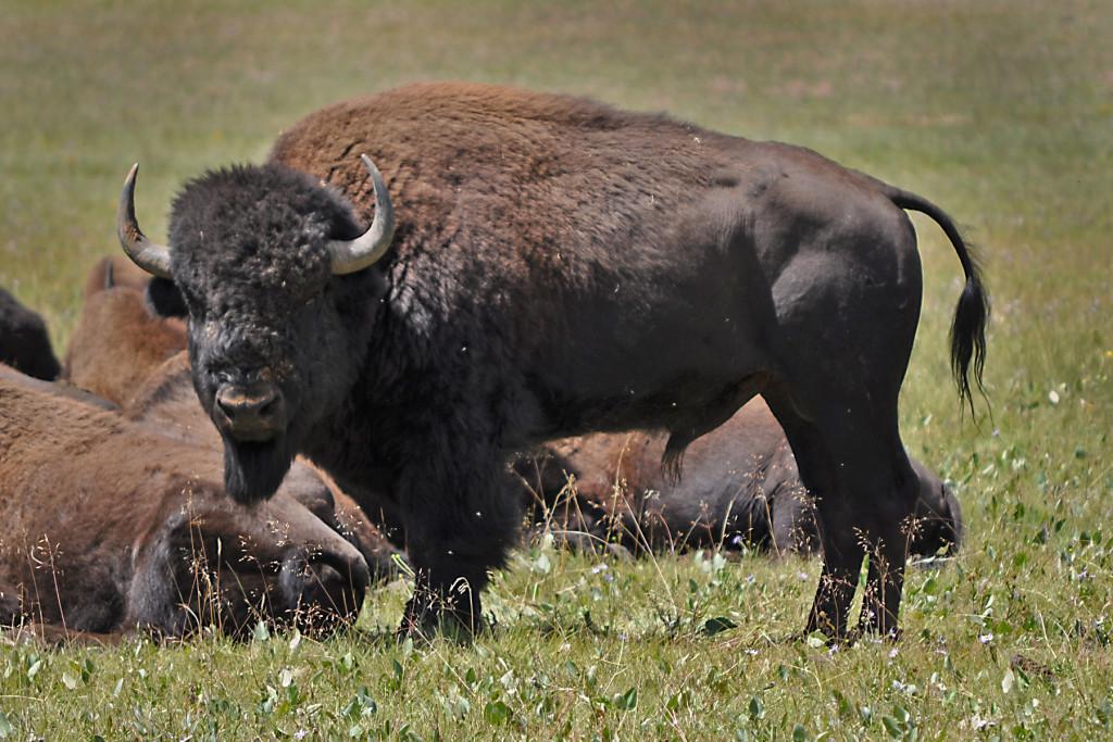 Houserock Valley Bison Herd. Photo courtesy of U.S. Forest Service, Southwestern Region, Kaibab National Forest