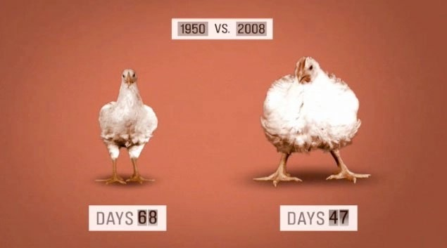 genetically-modified-chickens