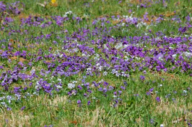 purple-violets-mass-big