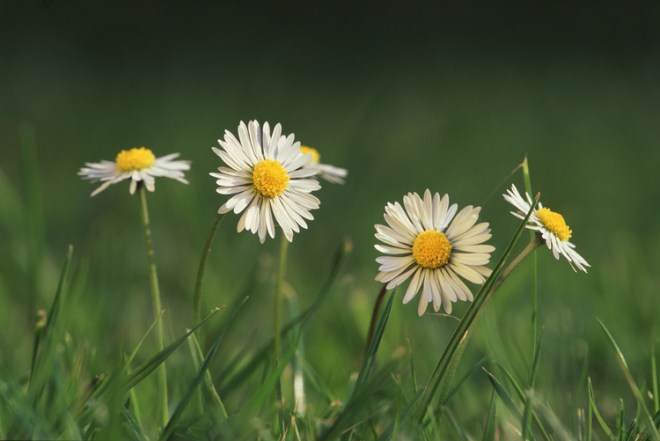 English+(or+Lawn)+daisy+(Bellis+perennis)