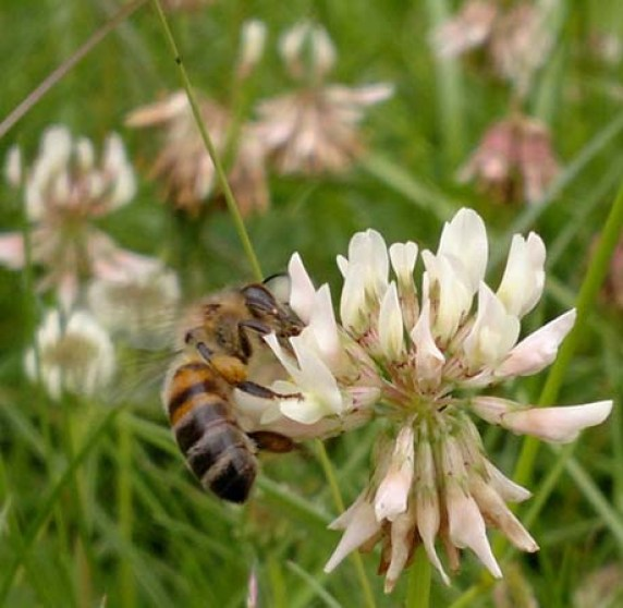 4555.bee-on-white-clover