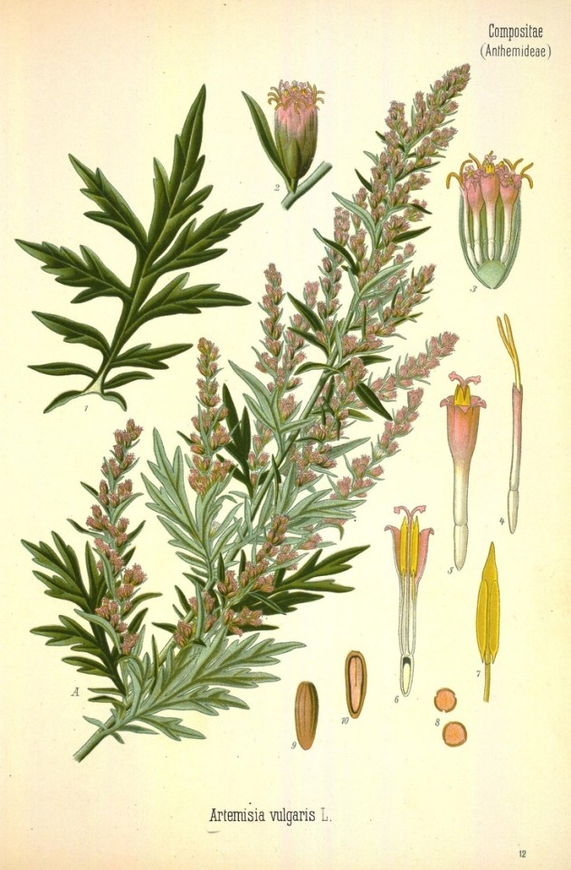 mugwortbotanical