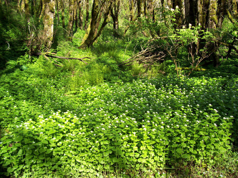 garlic-mustard-forest