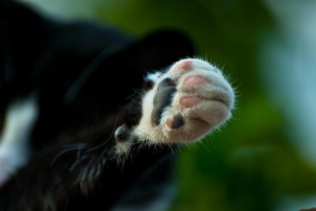 Você sabe quantos dedos os gatos tem?