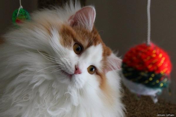 por que gatos viram cabeca de lado