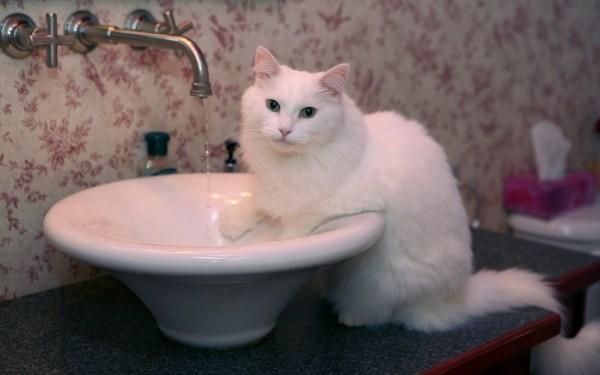 gato pedir abrir torneira