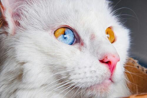 gatos olhos impares heterocromia felina