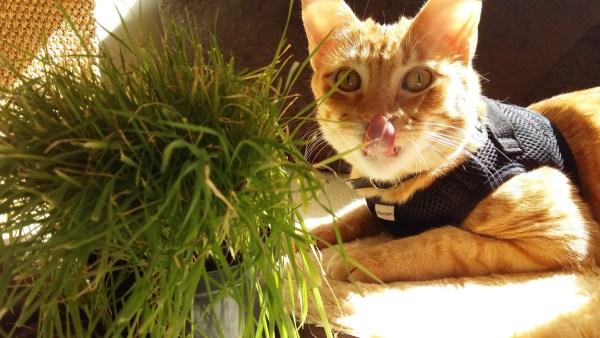 graminhas-gatos-milho-trigo