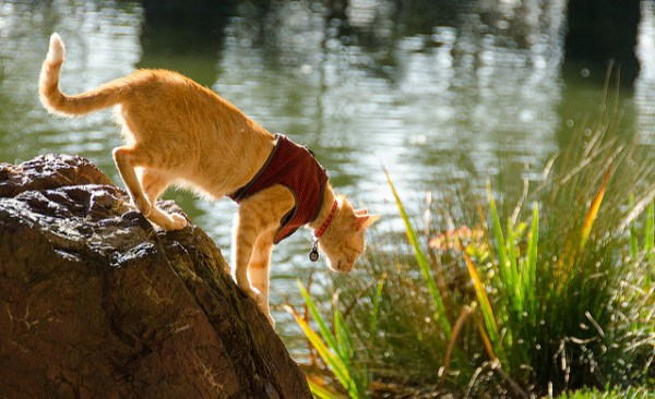 passear-gato-coleira