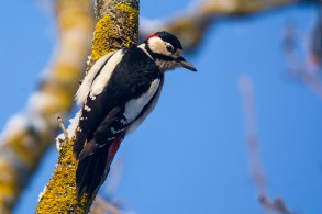 Dižraibais dzenis. Dendrocopos major. Great Spotted Woodpecker.