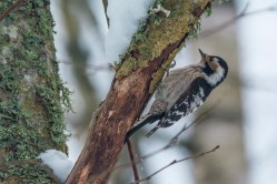 Mazais dzenis. Dendrocopos minor. Lesser Spotted Woodpecker.