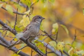 Mājas zvirbulis. Passer domesticus. House sparrow.