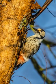 Baltmugurdzenis. Dendrocopos leucotos. White-backed woodpecker.
