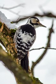 Baltmuguras dzenis. Dendrocopos leucotos. White-backed woodpecker.