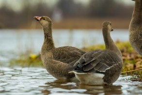 Baltpieres zoss. Anser albifrons. White-fronted goose.