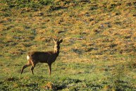 Stirna. Capreolus capreolus. Roe deer.