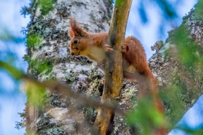 Vāvere. Sciurus vulgaris. Red squirrel.
