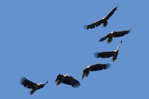 Jūras ērglis. Haliaeetus albicilla. White-tailed eagle.
