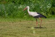 Baltais stārķis. Ciconia ciconia. White stork.