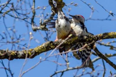 Vidējais dzenis. Dendrocopos medius. Middle Spotted Woodpecker.