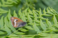 Lauka sīksamtenis. Coenonympha arcania. Pearly Heath.