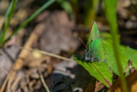 Aveņu astainītis. Callophrys rubi. Green Hairstreak.