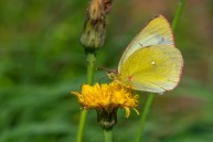 Purva dzeltenis. Colias palaeno. Moorland Clouded Yellow.